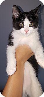 Domestic Shorthair Kitten for adoption in Toledo, Ohio - Isaac