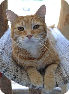 Domestic Shorthair Cat for adoption in Michigan City, Indiana - Cheese