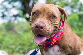 American Pit Bull Terrier Mix Dog for adoption in Victoria, British Columbia - Paz