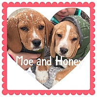 Adopt A Pet :: Honey - bridgeport, CT