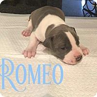 Adopt A Pet :: Romeo - Cheney, KS
