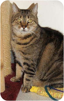 American Shorthair Cat for adoption in Victor, New York - Dude