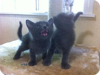 Domestic Shorthair Kitten for adoption in Arlington/Ft Worth, Texas - Tink & Turi