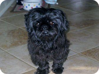 Shih Tzu/Pekingese Mix Dog for adoption in Marietta, Georgia - Winston