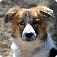 Adopt A Pet :: Brazos - Garland, TX