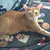 Domestic Mediumhair Cat for adoption in Houston, Texas - Griffey