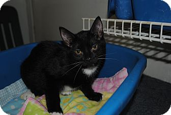Domestic Shorthair Kitten for adoption in Bay City, Michigan - Willow