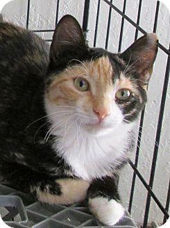 Calico Cat for adoption in Buhl, Idaho - Echo