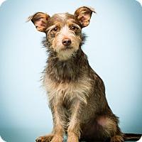Adopt A Pet :: Mason - MEET ME - Norwalk, CT
