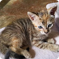 Domestic Shorthair Kitten for adoption in Austin, Texas - Peanut Butter