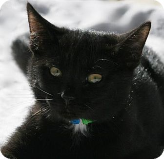 Domestic Shorthair Kitten for adoption in North Fort Myers, Florida - Ashes