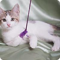 Adopt A Pet :: Latte - Lombard, IL