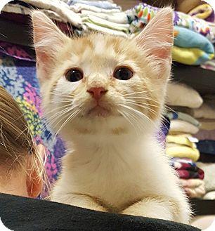 Domestic Shorthair Kitten for adoption in Lexington, Kentucky - Sunshine