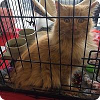 Adopt A Pet :: Shilo mainecoon mix - Clay, NY
