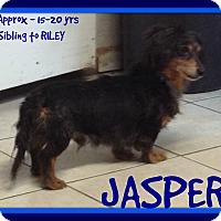 Dachshund Dog for adoption in Halifax, Nova Scotia - JASPER