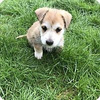 Adopt A Pet :: Abbie - Tumwater, WA