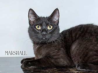 Domestic Shorthair Cat for adoption in Houston, Texas - Marshall