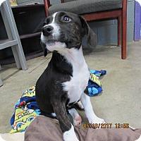Adopt A Pet :: Mya - BLACKWELL, OK