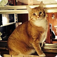 Adopt A Pet :: Tiger - Harrisonburg, VA