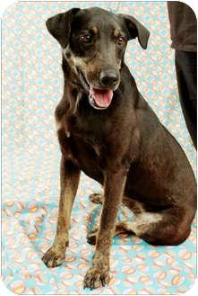 German Shepherd Dog Mix Dog for adoption in Garland, Texas - Star