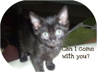 Domestic Longhair Cat for adoption in Mobile, Alabama - Ralph
