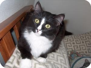 Domestic Mediumhair Cat for adoption in Simi Valley, California - Mitzi