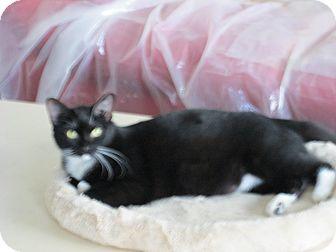 Domestic Shorthair Kitten for adoption in Jeffersonville, Indiana - Juliet