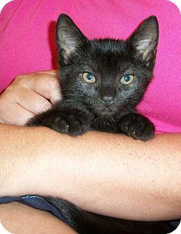 Domestic Shorthair Kitten for adoption in Reston, Virginia - Oreo