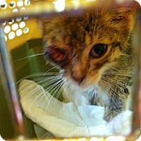Adopt A Pet :: Noah - Chesterfield, VA