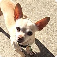 Adopt A Pet :: Violet - Vacaville, CA