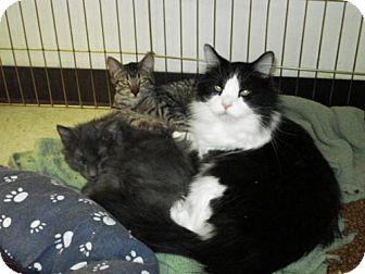 Domestic Longhair Cat for adoption in Colorado Springs, Colorado - Baby