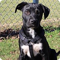 Adopt A Pet :: Socks - Dallas, TX