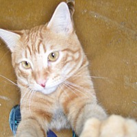 Domestic Shorthair Cat for adoption in Scottsdale, Arizona - George