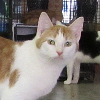 Domestic Shorthair Cat for adoption in Jackson, Missouri - Bruce