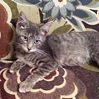 Domestic Shorthair Kitten for adoption in Santa Fe, Texas - Newman