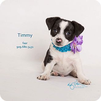Rat Terrier Mix Puppy for adoption in Riverside, California - Timmy
