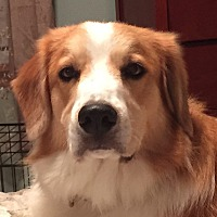 Adopt A Pet :: Bailey - Enfield, CT