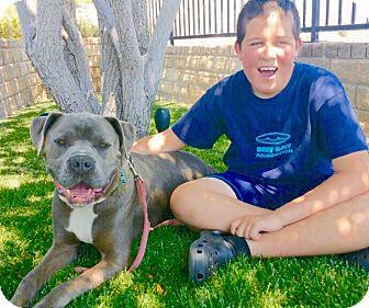 Mastiff/Bulldog Mix Dog for adoption in Los Angeles, California - URGENT-Sky
