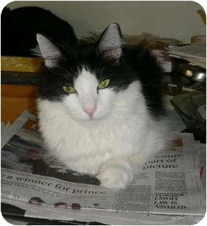 Turkish Angora Cat for adoption in lake elsinore, California - Lil Man