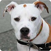 Adopt A Pet :: Bueller (Sweetie) - Seattle, WA