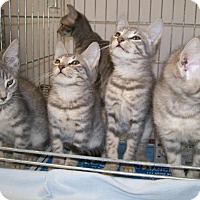 Adopt A Pet :: Kittens - Norwich, NY