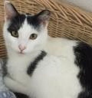 Domestic Shorthair Cat for adoption in Livonia, Michigan - Little Bit