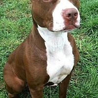 American Pit Bull Terrier Mix Dog for adoption in Idaho Falls, Idaho - Harmony