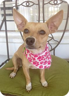 Dachshund/Toy Fox Terrier Mix Dog for adoption in Santa Ana, California - Mia (BH)