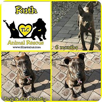 Rottweiler/Pit Bull Terrier Mix Puppy for adoption in Runnemede, New Jersey - Ruth