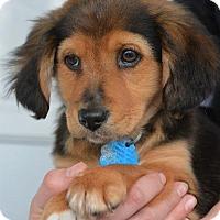 Adopt A Pet :: Scooter - Danbury, CT
