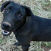Adopt A Pet :: Midnight - West Bridgewater, MA