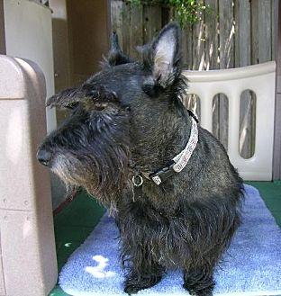 Scottie, Scottish Terrier Dog for adoption in Dallas, Texas - Ripkin