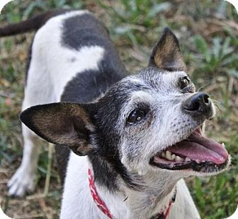 Rat Terrier Dog for adoption in Winters, California - George Burns