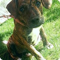 Adopt A Pet :: Bree - Marlton, NJ